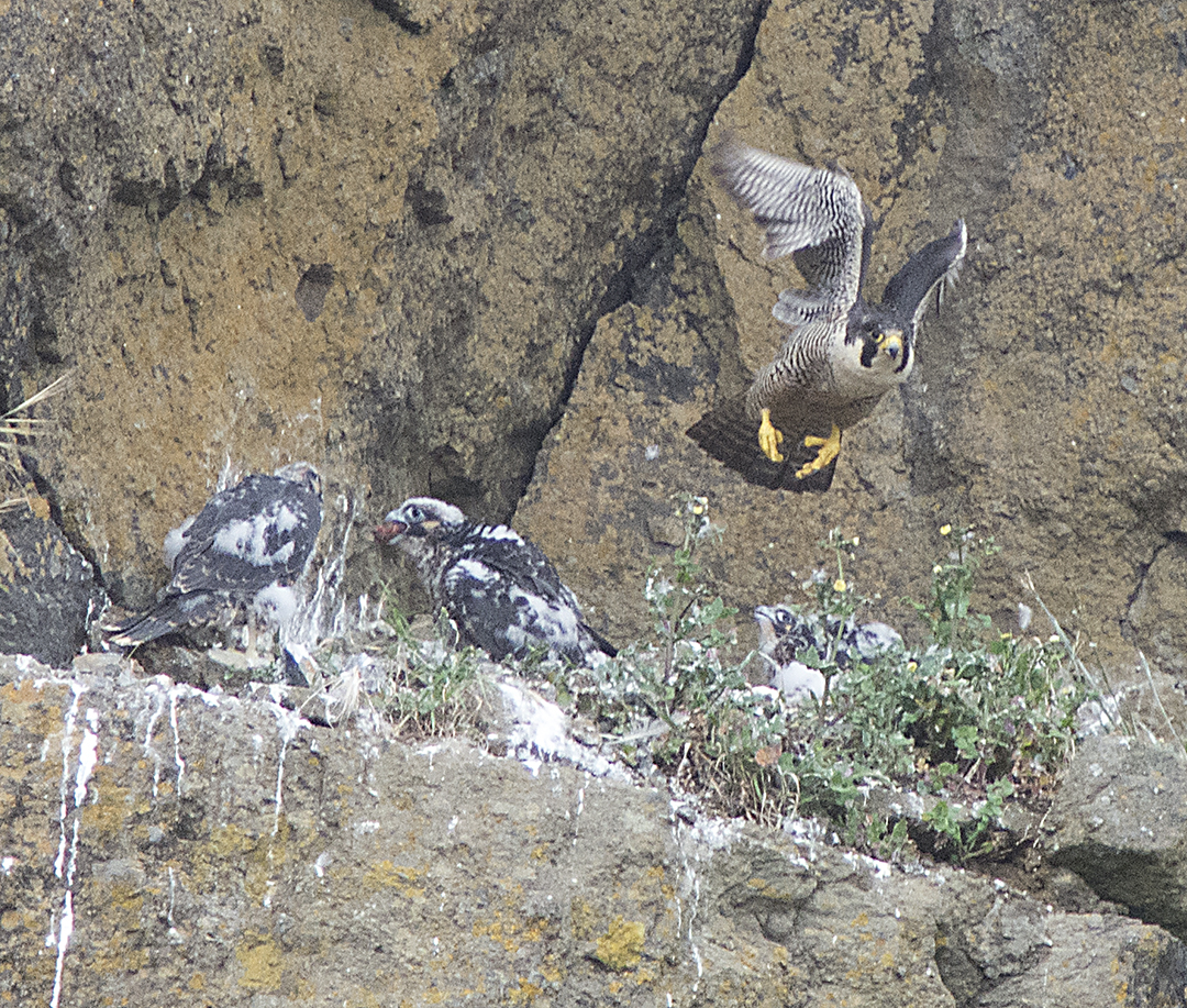 Young Peregrine Falcons with parent