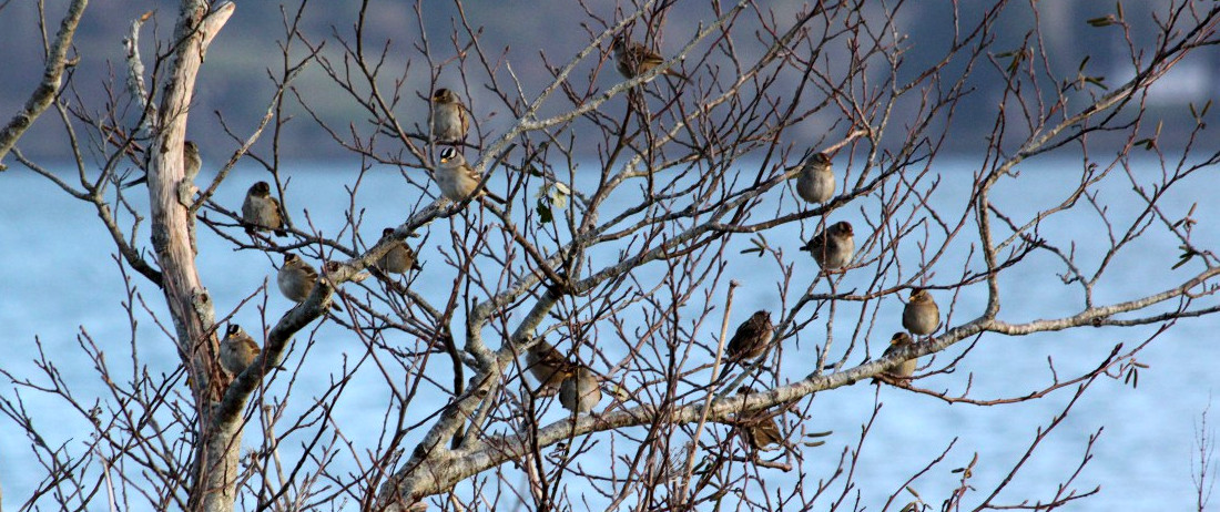 Sparrows at Pixieland